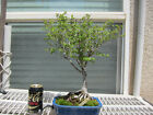 Japanese Zelkova Bonsai Tree