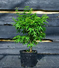 Pre Bonsai Tree Japanese Maple Sharpes Pygmy JMSP1G 509A
