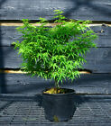 Pre Bonsai Tree Japanese Maple Sharpes Pygmy JMSP1G 509B