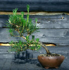 Bonsai Tree Japanese Black Pine JBP 509B