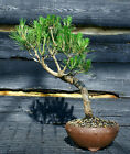 Bonsai Tree Japanese Black Pine JBP 509E