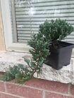 Juniper Pre Bonsai Tree cascading style Blue chip juniper