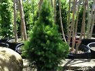 Conifer Pre Bonsai Live Plant Evergreen