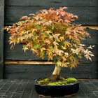 Bonsai Tree Japanese Maple Specimen JMST 1105A