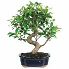 Brussels Golden Gate Ficus Bonsai