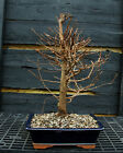 Bonsai Tree Dawn Redwood DR 220F