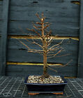 Bonsai Tree Dawn Redwood DR 220E