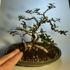 VERY CUTE SINUOUS ROOT 3 TREE FAMILY DWARF OLIVE SHOHIN BONSAI MY BEST WORK
