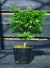 Pre Bonsai Tree Japanese Maple Sharpes Pygmy JMSP1G 509C