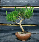 Bonsai Tree Japanese Black Pine JBP 509H