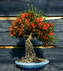 Bonsai Tree Exposed Root Satsuki Azalea Kinsai Specimen SAKST 509