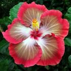 10 White Pink Red Hibiscus Seeds Flower Tropical Garden Exotic Hardy Perennial