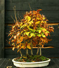 Bonsai Tree Specimen Japanese Beech 7 Tree Grove JBG7ST 1130B