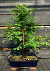 Bonsai Tree Dawn Redwood DR 724A