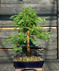 Bonsai Tree Dawn Redwood DR 724C