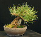 Bonsai Tree Specimen Imported Japanese Black Pine JBPSTQ424 509