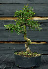 Bonsai Tree Chinese Elm CE12 809A