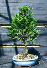 Bonsai Tree Hinoki Cypress HC 509B