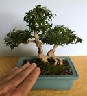 COOL TINIEST IVY EXPOSED ROOT SHOHIN BONSAI JAPAN POT SHOW READY UNIQUE AND OLD