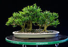 Harland Boxwood Bonsai 5 Tree Forest Planting Outdoor Indoor HB5G 717A