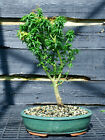 Bonsai Tree Japanese Maple Kotohime KHM 509C