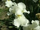 Iris bulb rhizome flag White very tall with yellow beard. Majestic