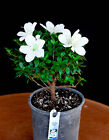 Japanese Satsuki Azalea Hakata Jiro 6 Pre Bonsai Tree White Flowers
