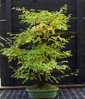 Bonsai Tree Korean Hornbeam KHST 830A