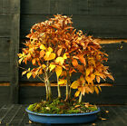 Bonsai Tree Specimen Japanese Beech 7 Tree Grove JBG7ST 1130A