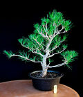 Japanese black pine  Mikawa  specimen bonsai tree  67