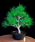 Japanese black pine  Mikawa  specimen bonsai tree  83