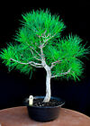 Japanese black pine  Mikawa  specimen bonsai tree  86