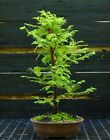 Bonsai Tree Dawn Redwood DR 919B