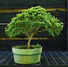 Kingsville Boxwood Bonsai Tree KB2G 919A