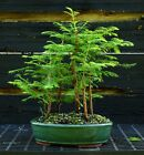 Bonsai Tree Dawn Redwood Grove DRG5 724A