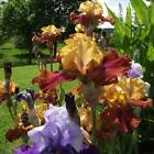 10 Fragrant Bearded Mixed Color,Iris Cloud Ballet - Large Rhizome - Blooms