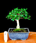 Chinese elm small leaf  shohin mame bonsai tree 1