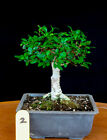 Chinese elm small leaf  shohin mame bonsai tree  2