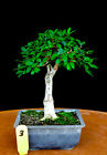 Chinese elm small leaf  shohin mame bonsai tree  3