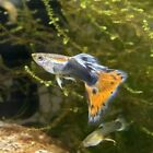 6 Fry Guppies of Multi Colorful Delta Guppies blue Females