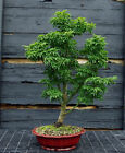 Bonsai Tree Japanese Maple Shishigashira JMSSGST 809A