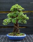 Bonsai Tree Exposed Root Satsuki Azalea Shiraume SASST 830A