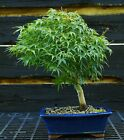 Bonsai Tree Japanese Maple Sharpes Pygmy JMSP 919A