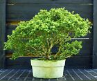 Kingsville Boxwood Bonsai Tree KB3G 123
