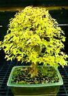 Bonsai Tree Specimen Trident Maple TMST 918A