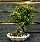 Bonsai Tree Exposed Root Satsuki Azalea Karaito Specimen SAKST 508C
