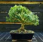 Harlandi Boxwood Bonsai Tree HB 1029G