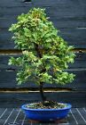 Bonsai Tree Hinoki Cypress HC 1030B