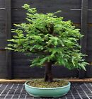 Bonsai Tree Dawn Redwood DRST 830A