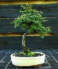 Bonsai Tree Chinese Elm CE 919E